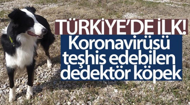 Türkiye'de ilk kez korona virüsü teşhis edebilen dedektör köpek yetiştirildi