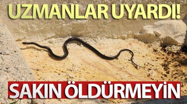 Kuşadası'nda görülen yılanlarla ilgili uzmanlar uyardı; 'Zehirli değiller, öldürmeyin'