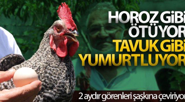 Sinop'ta 2 aydır yumurtlayan horoz sahibini şaşırttı